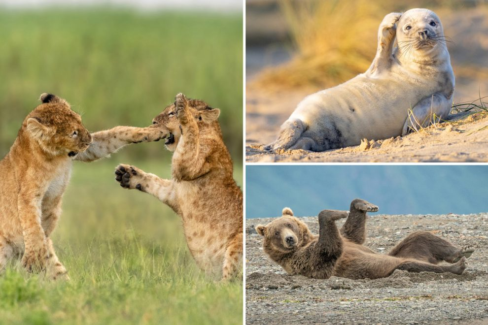 Lion cub playfully sticking its paw in friend's mouth and confused seal in running for comedy wildlife pictures award