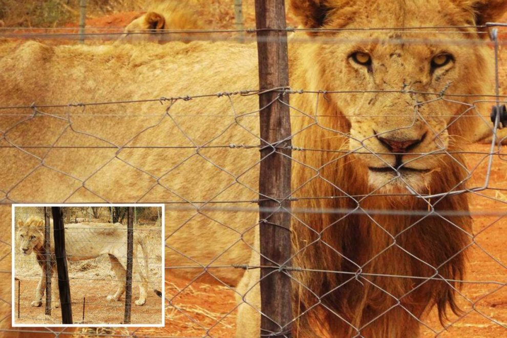 Raging-hungry emaciated lions escape from farm breeding them to be shot by trophy hunters in South Africa