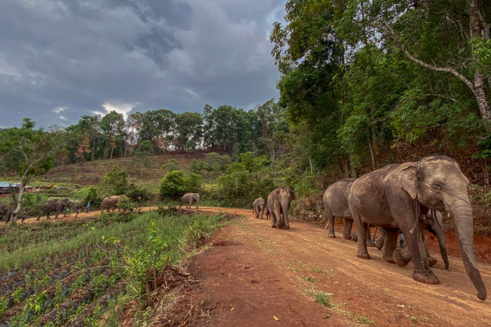 Starving elephants in closed Thai holiday camps FREED back into the wild as keepers can no longer exploit them for money