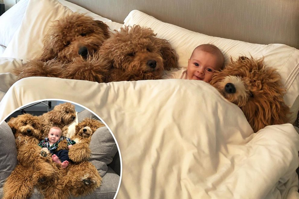 Six-month-old lad beams with joy as he is surrounded by extra-fluffy goldendoodle dogs