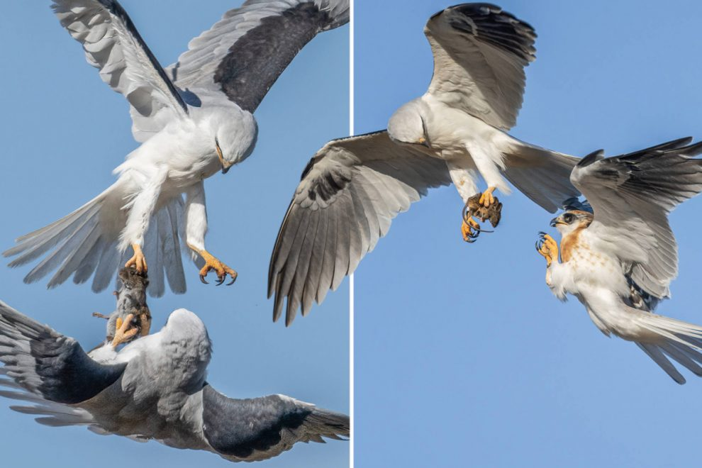 Two white-tailed kites transfer a catch in mid air — before a third bird tries to steal it