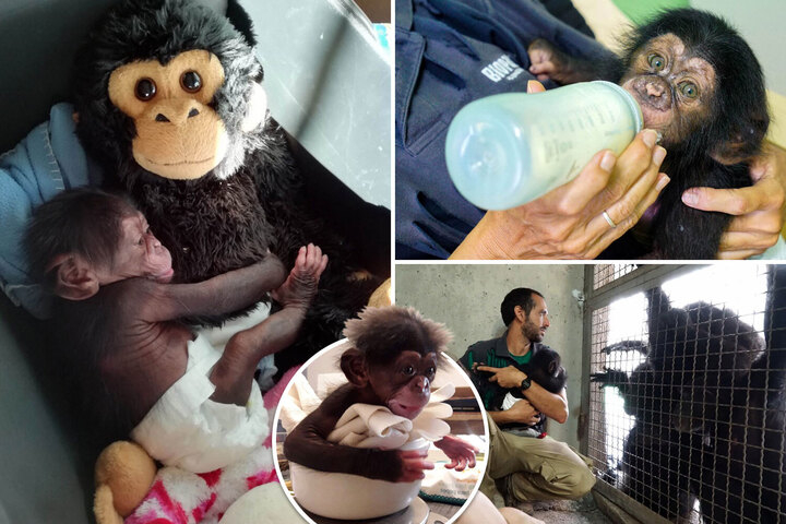 Baby chimp Djibril shares cuddle with soft toy after being rejected by his mother