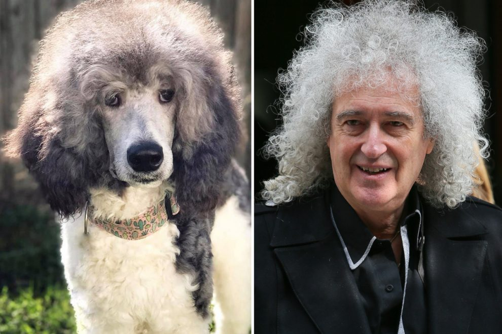 Big-haired poodle is spitting image of Queen guitarist Brian May