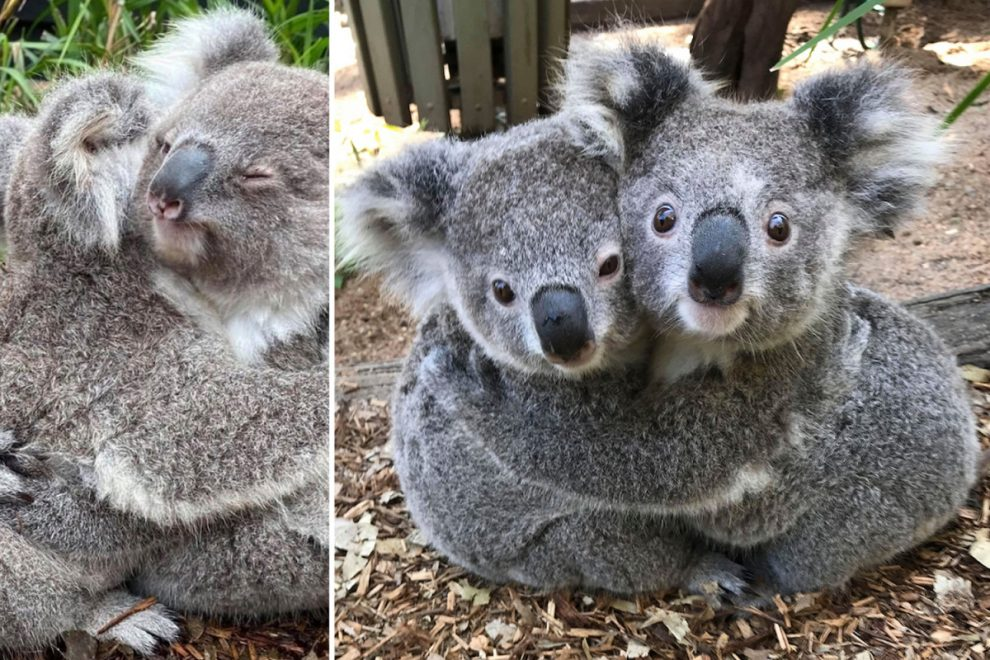 Cuddly koalas share a heart-warming hug in adorable snaps
