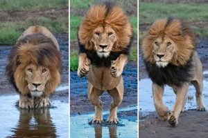 Lion leaps over stream — just in case there are any crocodiles lurking