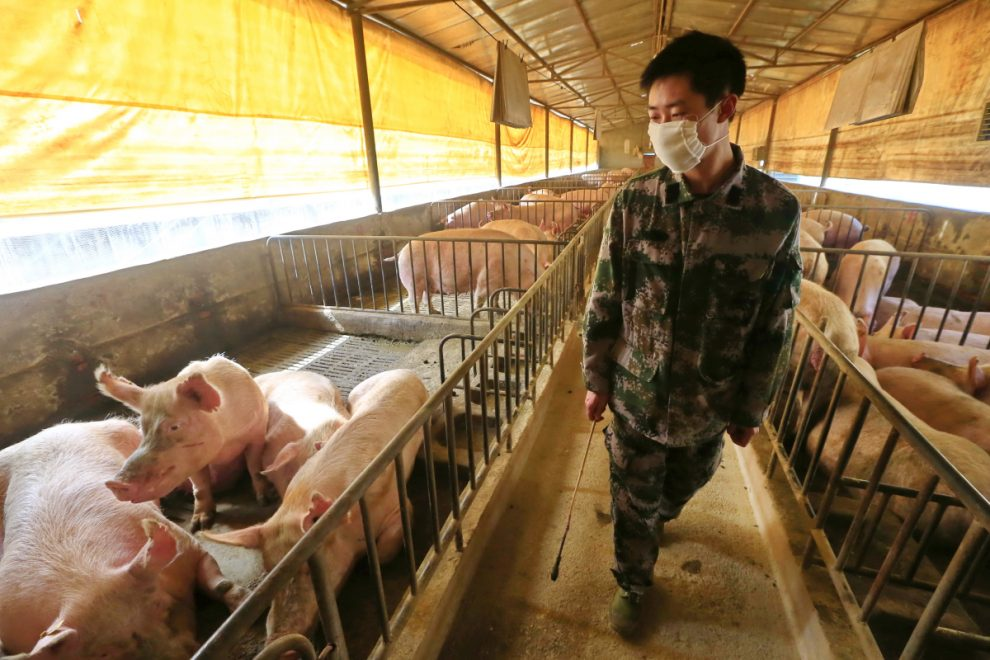 African swine fever 'may have sparked Covid pandemic as pork shortage forced Chinese people to eat more exotic animals'
