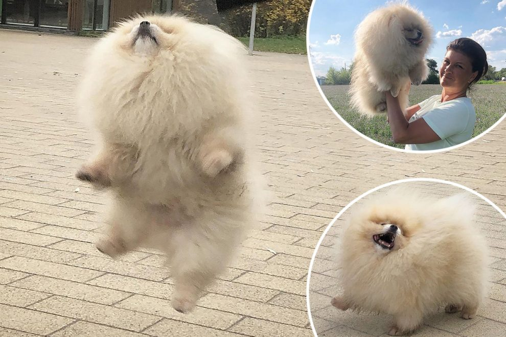 Prancing Pomeranian Irwin wins army of fans with amazing dance moves