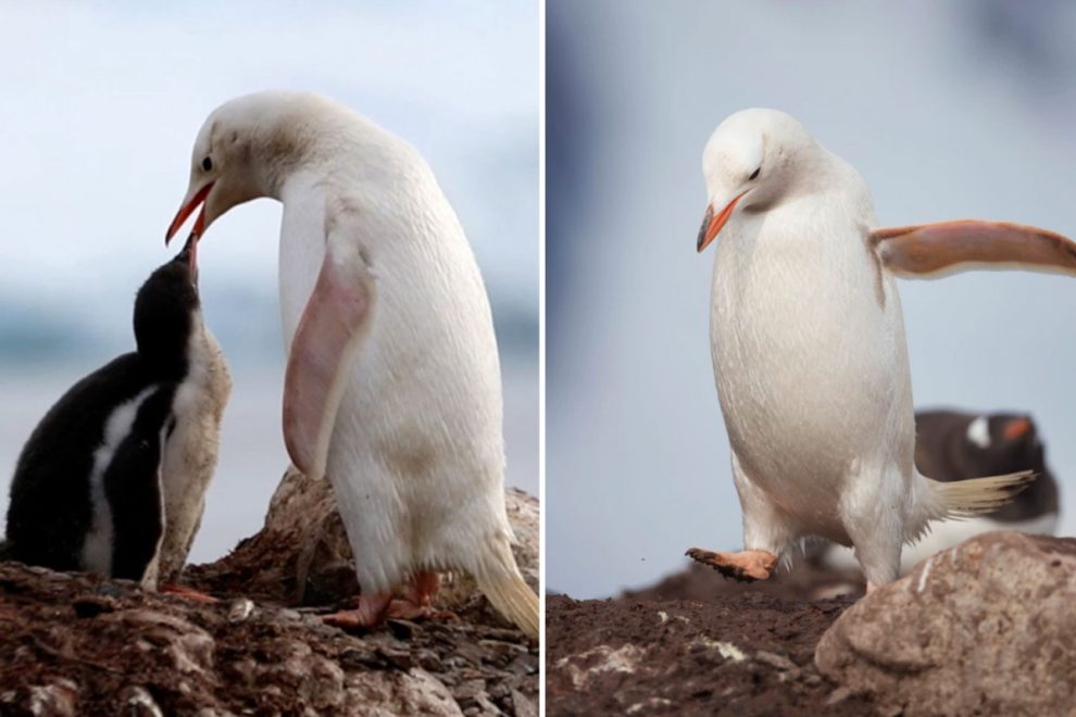 Rare white gentoo penguin feeds its chick in touching display