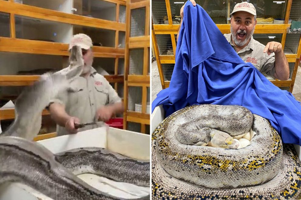 Zookeeper's horror as massive python strikes out at his face while guarding her eggs