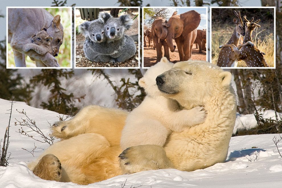 From snuggling polar bears to cosy koalas… pics that show animals are just like humans