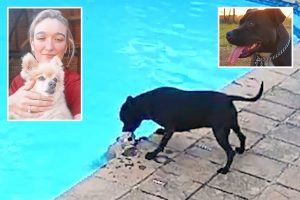 Hero Staffy mounts epic 34 MINUTE rescue of drowning Toy Pom pal after it slips into backyard pool