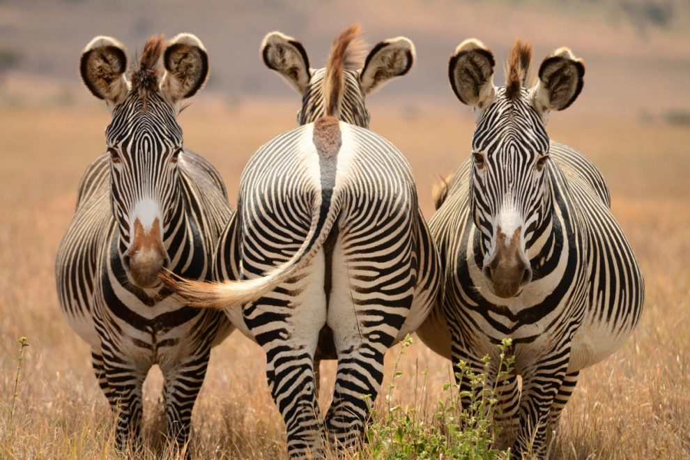 Shy zebra turns its back to the camera as its pals pose a picture