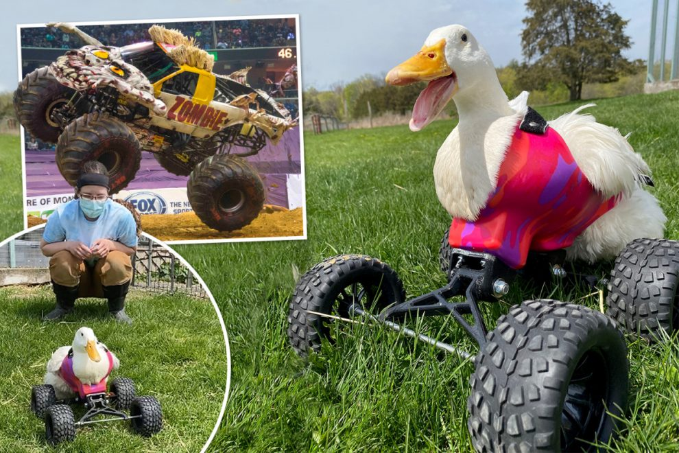 Duck paralysed by fox learns to waddle again thanks to monster quad wheelchair
