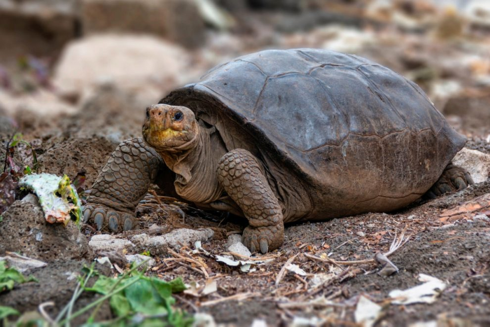 Giant tortoise found again after it was believed to be extinct for a century