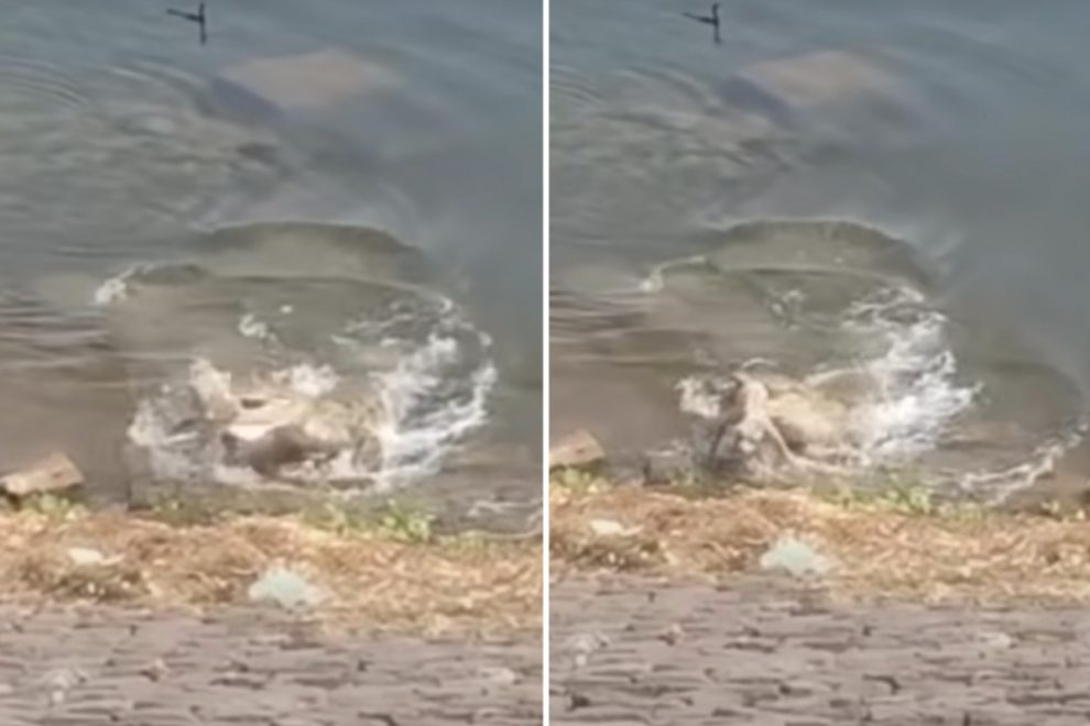 Horror moment huge crocodile grabs whimpering dog from river bank as it drinks and drags pooch to its death in India