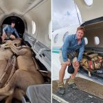 Vet sits in plane with huge sedated lions as they're transported across South Africa