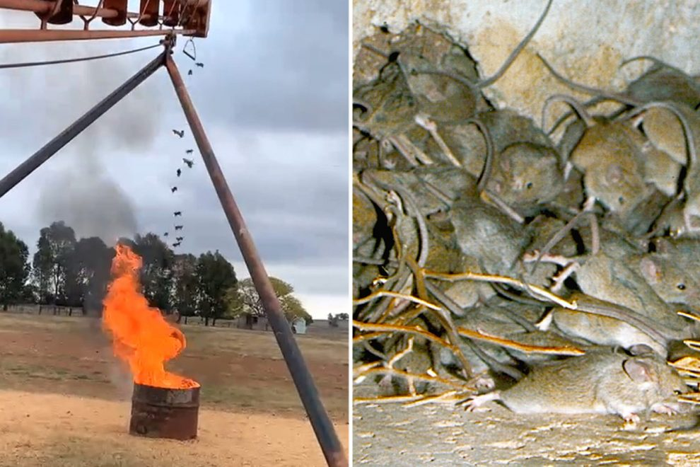 Farmer builds mouse INCINERATOR to save his crops from plague as Australia devastated by rampaging rodents