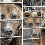 'World's saddest bear' has spent entire life behind bars and 'goes days without food' at hellhole zoo