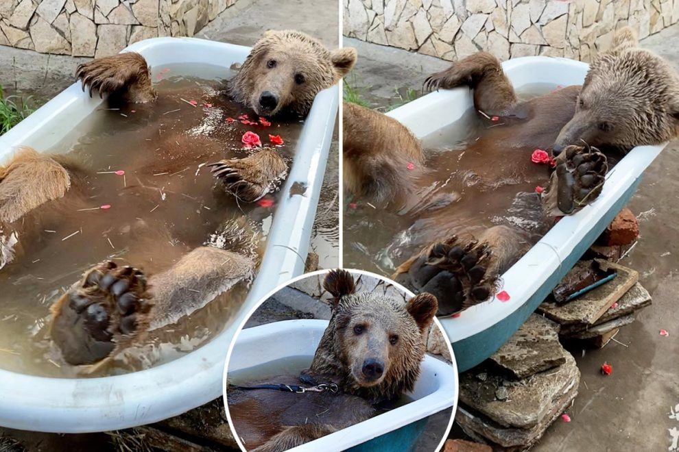 Balu the bear takes it easy during his daily rose-petal bath