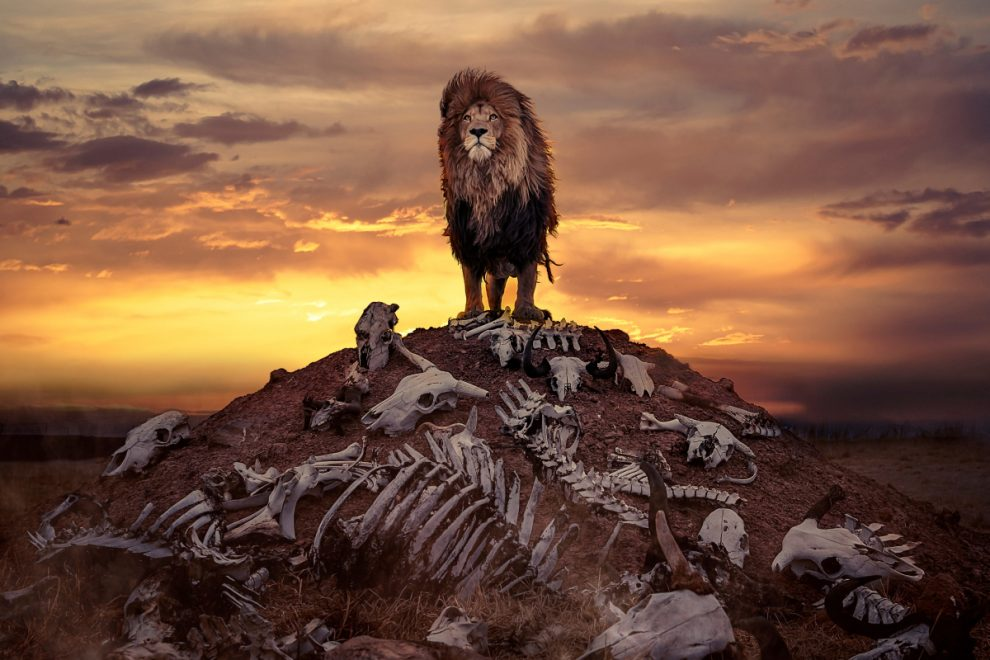 Lion stands proudly atop of a hill of animal carcasses used to feed pride