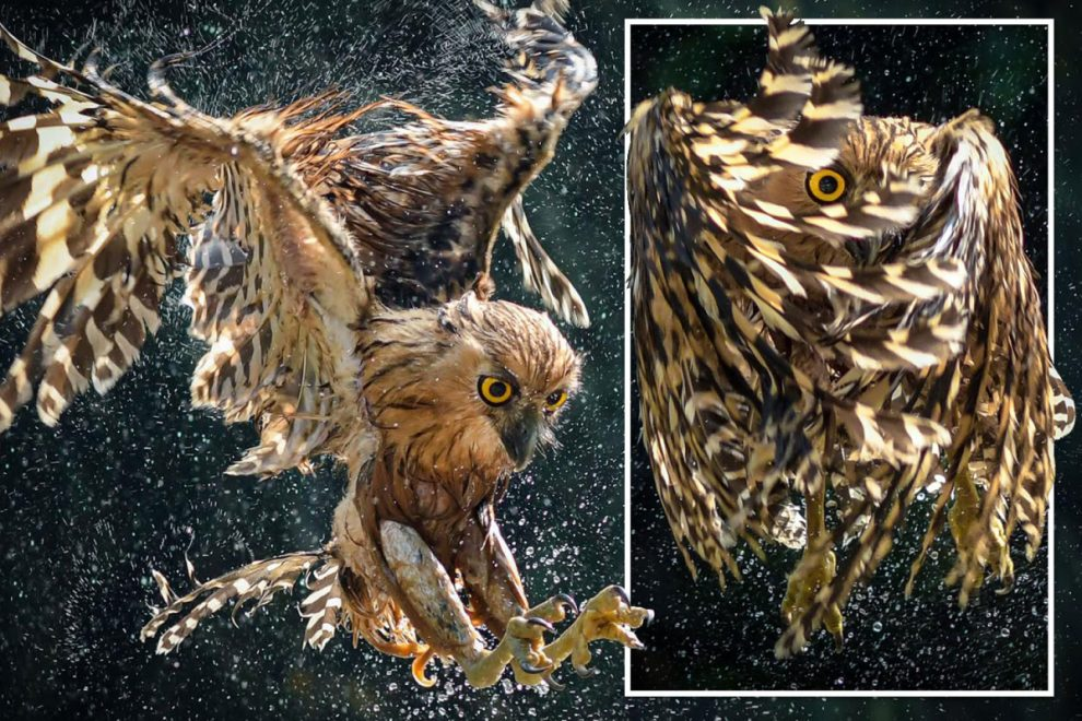 Owl peeps through its wings as it prepares to dive feet-first into a river